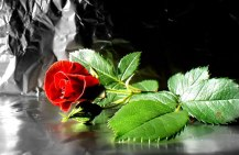 flower-wallpaper-red-rose